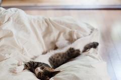 [ハチマロ通信] グラビアハッチ (moriyu) Tags: japan tokyo nikon d700 cat 猫 ニコン 東京