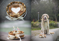 Happy Birthday Cookie! (BernaPhotography) Tags: labradorretriever lab labrador dog pet portrait cake birthday