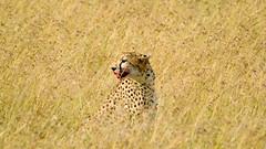 Masai Mara, Kenya (serena_tang) Tags: masaimara kenya