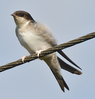 House Martin , Marshes Hill