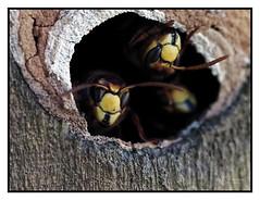 Frelon dans leur nid (Olympus Passion eric leroy) Tags: macro olympus zuiko proxi insecte 60mm 40150mm pro 60 40150