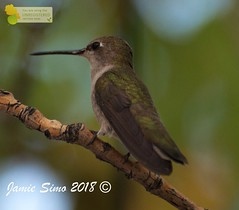 Black-chinned Hummingbird (ironekilz) Tags: chatfieldstatepark
