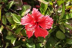 (fabhuleux) Tags: nature red 6d canon voyage soleil sun travel flower fleur france martinique antilles