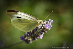 Rapsweißling auf Lavendenblüte (ES9262) Tags: butterfly schmetterling macro makro d7200 nikon sigma 105mm