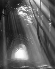 Cypress Tunnel - Pt. Reyes (Cimbaso) Tags: xtol kodak 4x5 large format analog film canham bw blackandwhite tmax100