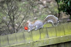 Lunch time (dan487175) Tags: squirrel greysquirrel treerat fence backgarden garden tomartoe food vegetable carrying lunch nikond3300 nikon tamron lense colour trees plants mouth claws running climbing tail eyes cute summer 2018 hotday hot
