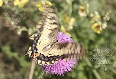butterfly at Lucus Feronia 2018_07