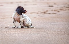 Sitting waiting (Missy Jussy) Tags: puppy malespringerspaniel mansbestfriend cute footprints sand beach northumberland campingtrip dog dogwalk dogportrait portrait 70200mm ef70200mmf4lusm ef70200mm canon70200mm 5d canon5dmarkll canon5d canoneos5dmarkii canon canonllens