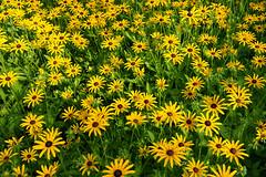 "Bunch Of Black Eyed Susans (Modkuse) Tags: ""blackeyedsusan"" blackeyedsusan flower flowers flowergarden fuji fujifilm xt2 nature natural landscape plants wideangle wideanglezoomlens fujifilmxt2 fujinonxf1024mmf4rois"
