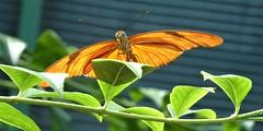 Brookfield, IL, Brookfield Zoo, Butterfly Pavilion, Julia Butterfly (Mary Warren 11.3+ Million Views) Tags: brookfieldil brookfieldzoo park zoo nature fauna plant flora leaves green foliage orange butterfly julia