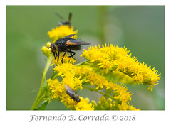 Tachinid Fly (3499) (fbc57) Tags: tachinidfly flies insects nikond850 nikon300f4pfvrtc14x newarkpond newark vermont
