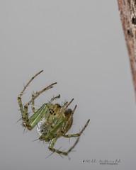 Spider hanging on web filament (Bill McDonald 2016) Tags: spider web hanging filament tiny macro closeup canon billmcdonald grenfell wwwtekfxca july 2018 canada ontario