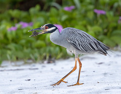Yellow-crowned Night Heron (Gary McHale) Tags: sand beach shrubs yellowcrowned yellow crowned night heron fort myers florida crab feeding gary mchale