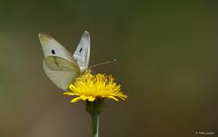 Small White - Klein Koolwitje - Pieris rapae -9269 (Theo Locher) Tags: smallwhite kleinkoolwitje pierisrapae butterflies vlinders copyrighttheolocher duitsland germany