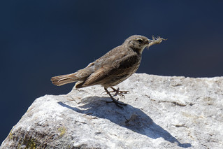 Rock Pipit with a snack