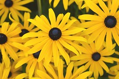 yellow looking at you (wolf8_us) Tags: travels washingtonstate summer flowers olympia