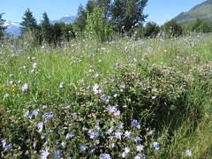Growing wild (jamica1) Tags: flowers chicory field revelstoke bc british columbia canada