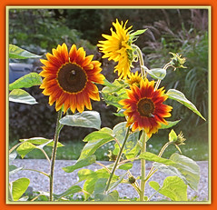 August Sunflowers (bigbrowneyez) Tags: sunflowers beautiful sunny sunlight bright pretty lovely august precious nature natura gorgeous petals blossoms delightful ottawa canada fresh belli bellissimi fiori fleurs girasoles augustsunflowers bees leaves stems