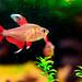 Female Rumble Fish (Betta) of Sumida Aquarium in Tokyo soramachi : ベタ♀(東京ソラマチ)