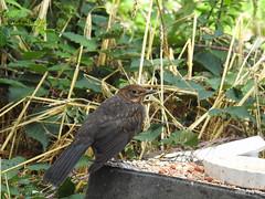 Blackbird Juvenile (pete Thanks for 3 Million Views Many thanks to eve) Tags: biggarden nikonp900 colchestervt wickedweasel blackbird juvenile