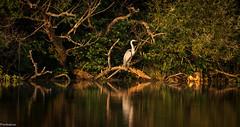 Great Blue Heron (Pordeshia) Tags: heron blueheron greatblueheron lakeisaac