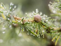 P8110082 (turbok) Tags: bäume lärche nadel nadelbäume pflanze wasseranpflanzen wassertropfen wildpflanzen