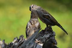 DSC_7999 Spatzen Fütterung (Charli 49) Tags: nature naturfotografie tier animal vogel bird sperling fütterung wildlife garten nikon d7200