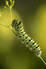 Swallowtail Snack Time (TCeMedia/Telecide) Tags: swallowtail caterpillar butterfly insect nature