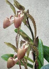 Phaleonopsis (Anne Marie Clarke) Tags: orchids ladyslipperorchids phaleonopsis greenhouse conservatory orchidshow newyorkbotanicalgarden 2008