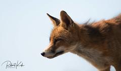 Red fox / Vulpes vulpes / Renard Roux (Jambo53 (busy)) Tags: redfox rodevos vulpesvulpes renardroux duingebied copyrightrobertkok nature wildlife netherlands mammal zoogdier backlit backlight portrait portret