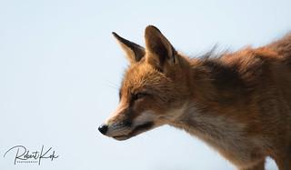 Red fox / Vulpes vulpes / Renard Roux