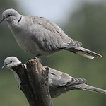Collard Doves.-Streptopelia Decaocto thumbnail