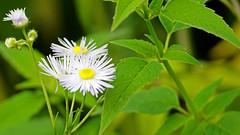 FlowersHartleyNatureCenter0719180006.jpg (TonyM1956) Tags: elements tonymitchell minnesota nature stlouiscounty hartleynaturecenter duluth sonyalphadslr macrounlimited sonyphotographing