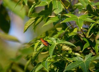 orange butterfly, green leaves