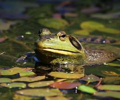 Day 1 of the Heatwave  :) (Paridae) Tags: americanbullfrog frog pondlife coolingoff afewofmyfavouritethings summer jeremiah portraitofjeremiah canoneos1dx ribbit