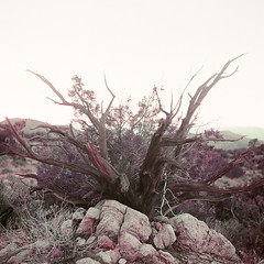(Joann Edmonds) Tags: rollfilmweek rollfilm film mediumformat yashica12 tlr lomochromepurple lomography 120 joshuatreenationalpark jtnp purple colorshift otherworldly nature landscape flora mojave highdesert california