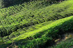 8H1_0358320 (kofatan (SS Tan) Tan Seow Shee) Tags: malaysia pahang cameronhighland copthornehotelsungeipalasbohplantation bharatteaplantation robinsonfall smokehouse brinchang tanahrata kofatan