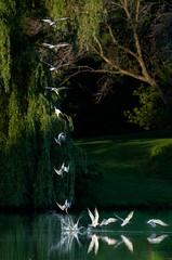 CaspianTernDive (jmishefske) Tags: 2018 d850 tern nikon fish milwaukee pond caspian fishing lagoon westallis bird july park dive greenfield county wisconsin