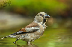 Hawfinch female in water (Amanda Blom Photography) Tags: hawfinch bird appelvink vink canon canonphoto nature animal natuur naturephotographer naturepicture naturelover naturephoto natuurfoto naturephotography natureptohography green greenbackground vogel water