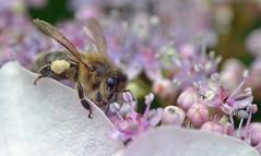 honey bee on hydrangia {explored} (conall..) Tags: bee honeybee apis mellifera apismellifera closeup raynox dcr250 macro rowallane national trust saintfield walled garden hydrangea cream pollen load collecting pollination