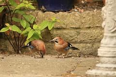 Jay's (~ **Barbara ** ~) Tags: bird wildbird jay blue eyes avian garden food ground noisy canon7dii hampshire