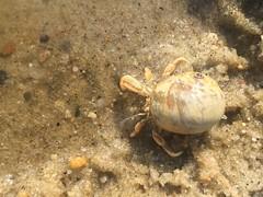 Hermit Crab (Foxy Belle) Tags: hermit sand water beach life animal