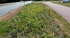 Foto Roel van Deursen Honey Highway Baljuwlaan - Spijkenisse 2018-07-24 (8) (Roel van Deursen) Tags: honey highway baljuwlaan vol bloei spijkenisse 2018