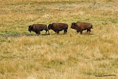 Bisontes 4 - Bison (pniselba) Tags: yellowstone yellowstonenationalpark wyoming usa estadosunidos parquenacional eeuu nature naturaleza bison bisonte