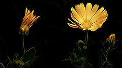 Golden Nature (Christina's World Off and On) Tags: artistic blackbackground brilliant brightcolors creative california colorful colors digitalart dramatic digitalpainting dark exotic flower flowers buds garden gold glow daisies light nature outdoors painterly plants sandiego stilllife textures unitedstates usa yellow