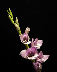 Purple Gladiolous 0728 (Tjerger) Tags: nature flower bloom blooms blooming plant natural flora floral blackbackground portrait beautiful beauty black green wisconsin macro closeup white purple summer gladiolus