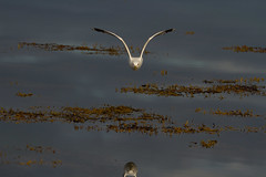 common gull 12 oclock low! (jon lees) Tags: common gull bird flight galway ireland