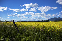 Canola Field III (Explored) (steve rubin-writer) Tags: canola yellow flower flickr flicker explore explored