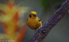 6-La Tangara Dorada (Tangara arthus) como su nombre lo indica se caracteriza por tener un color amarillo casi dorado. Es un ave bastante común en Colombia. El epíteto arthus se acuñó como reconocimiento al editor francés Arthus Bertrand. (Cimarrón Mayor 15,000.000. VISITAS GRACIAS) Tags: ordenpasseriformes familiathraupidae génerotangara tangaradorada granodeoro nombrecientificotangaraarthus nombreinglesgoldentanager lugardecapturafincaalejandría km18 cali colombia ave vogel bird oiseau paxaro fugl pássaro птица fågel uccello pták vták txori lintu aderyn éan madár cimarrónmayor panta pantaleón josémiguelpantaleón objetivo500mm telefoto700mm 7dmarkii canoneos canoneos7dmarkii naturaleza libertad libertee libre free fauna dominicano pájaro montañas