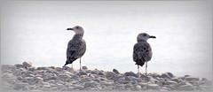 à l'ouest, rien de neuf, à l'est non plus ... (Save planet Earth !) Tags: seagull goéland amcc nikon france nice plage